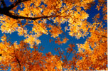sky viewed through a canopy of golden cottonwood leaves